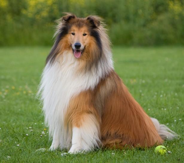 collie, dog, pet, hair style, fun