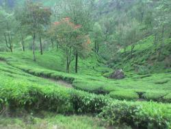 tourist spots - Munnar is one the cherished hill station in south india which is situated at an altitude of more than 5000ft from the sea level.It is famous for tea gardens which was planted by the British in the 1700s.The following is a photo which shows the beautiful landscape of munnar.