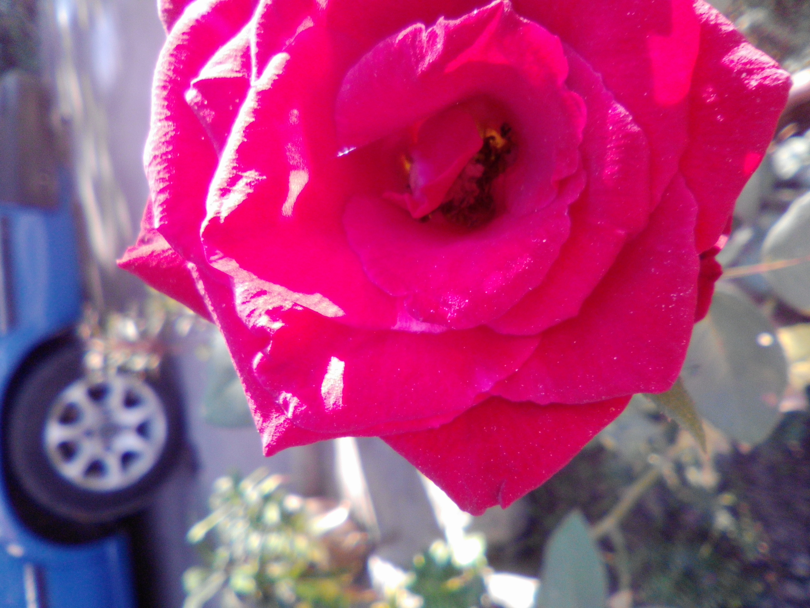 a rose from our garden
