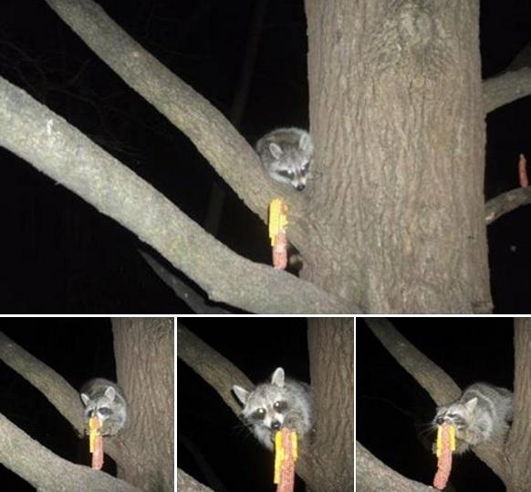 rocky raccoon, morning coughee moment, scar, myot