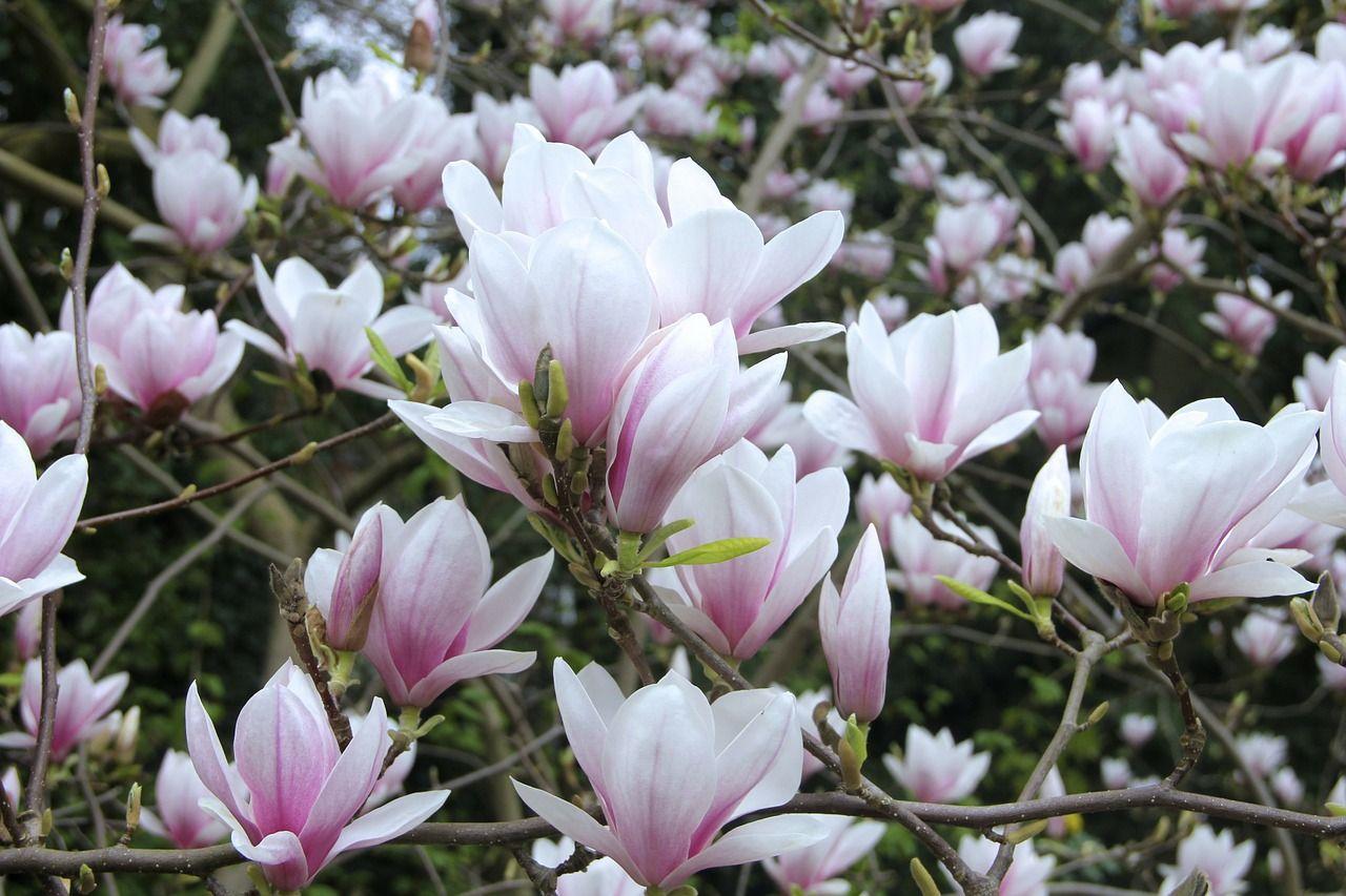 spring, drooping, flowers, hot, blooms