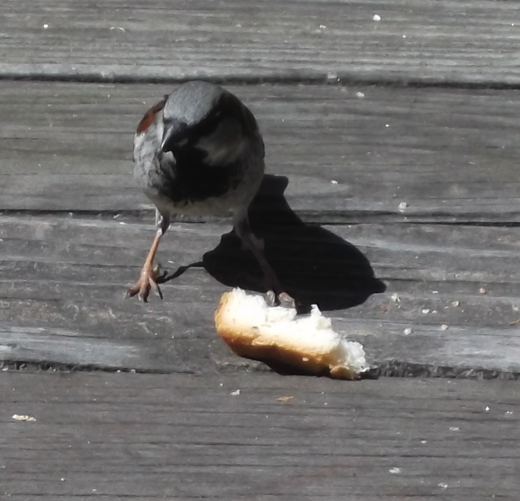 A sparrow getting bread on our back deck, photo taken by me