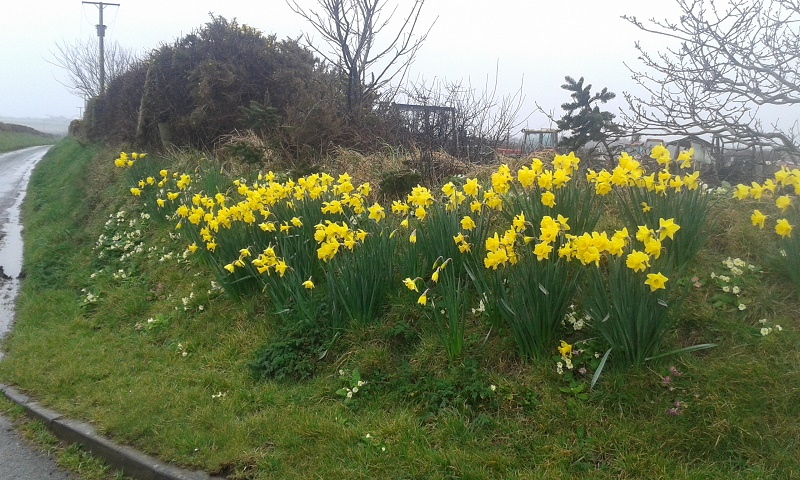 Daffodils in the mist.