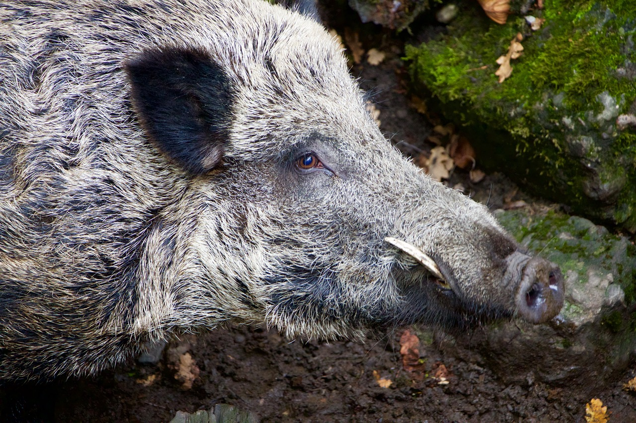 https://pixabay.com/en/nature-animals-wild-boar-boar-980145/