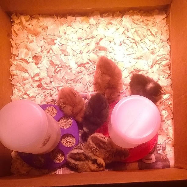 my 6 chicks in all their glory