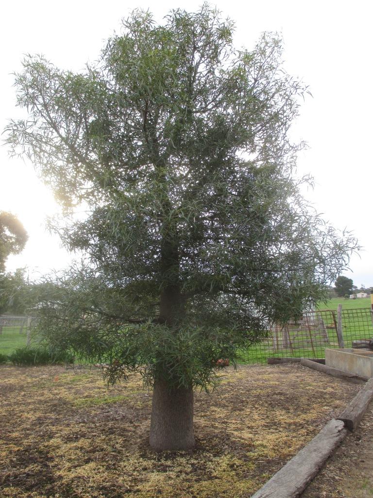 Boab tree, Western Australia