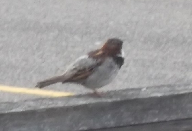 Sparrow taken by me 5-14-16
