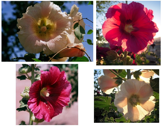 Hollyhocks that used to grow in my yard.