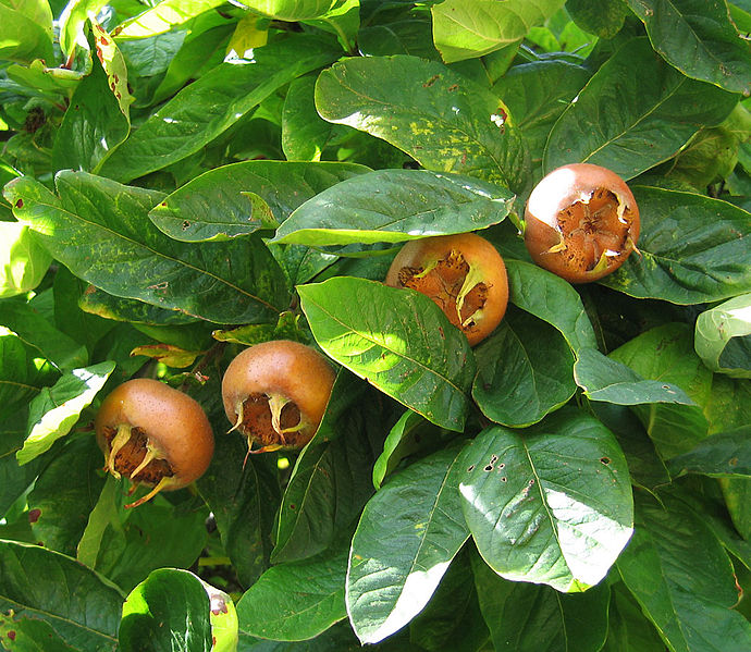 Medlar fruit (image Photograph © Andrew Dunn. Creative Commons Licence).