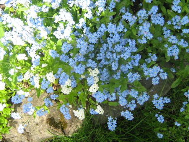 forget me not,