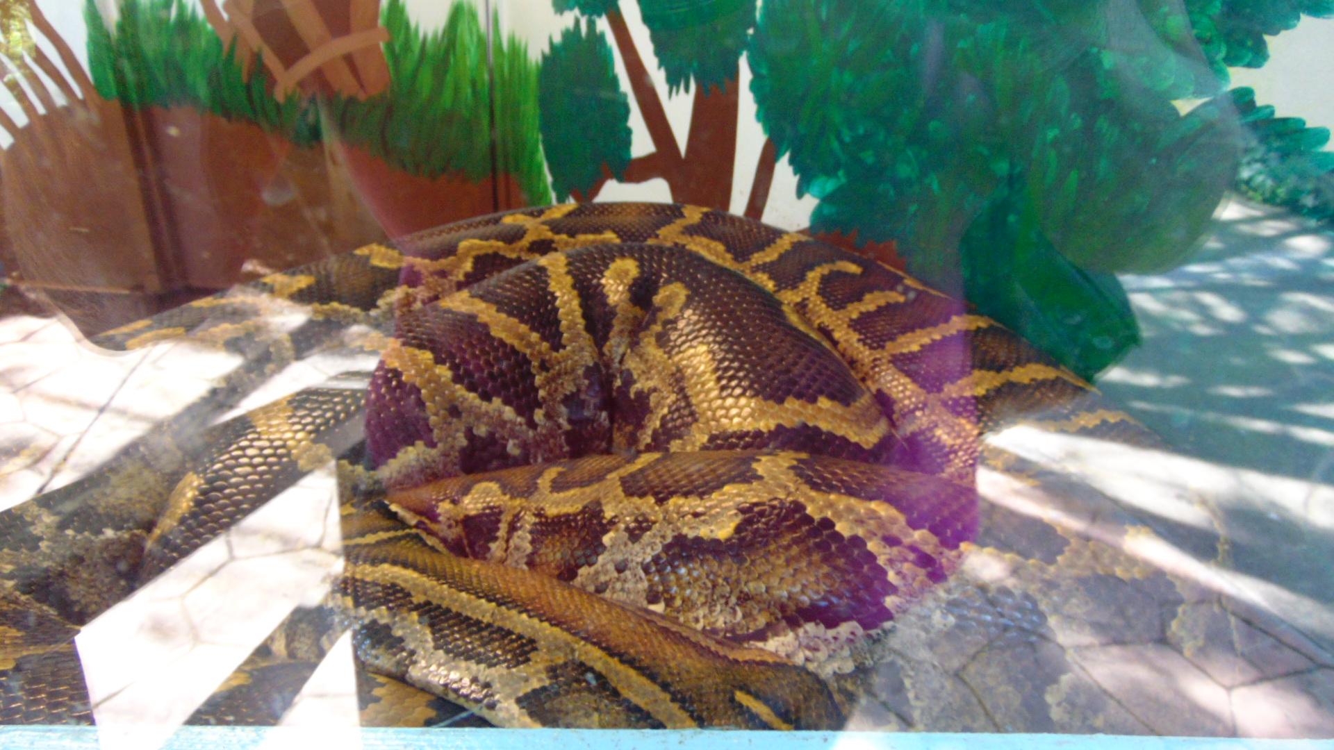 Burmese Pythia,