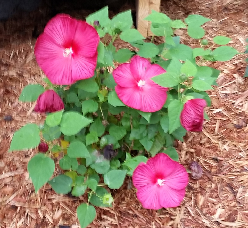 One of my hibiscus plants