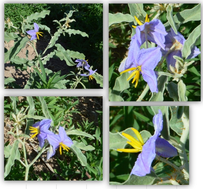 "Finally, I can put a name to this ""weed"", they call it a columbine"