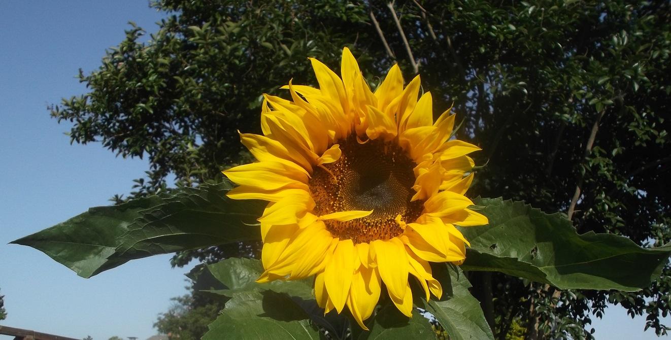 Photo of Sunflower I took in my neighbor's yard