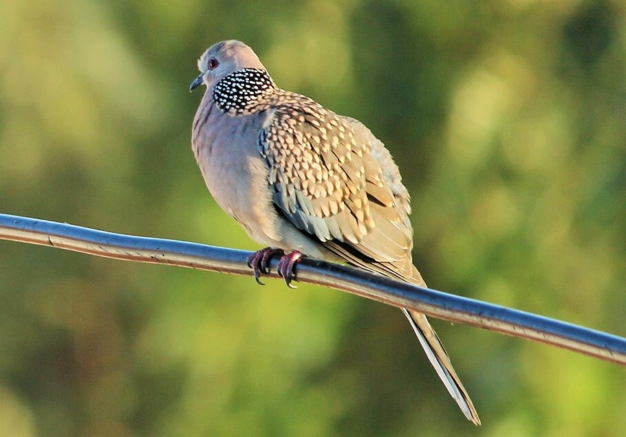 sofspics, spotted dove, birdwatching