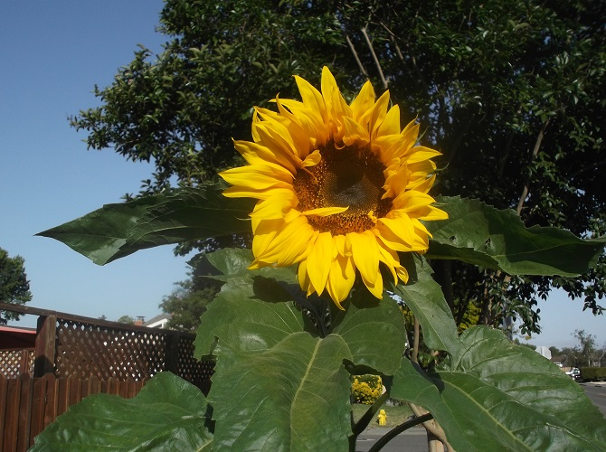 Photo of sunflower taken by me