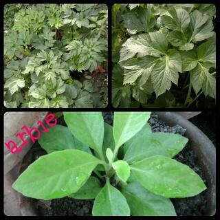 Ashitaba and gynura procumbens