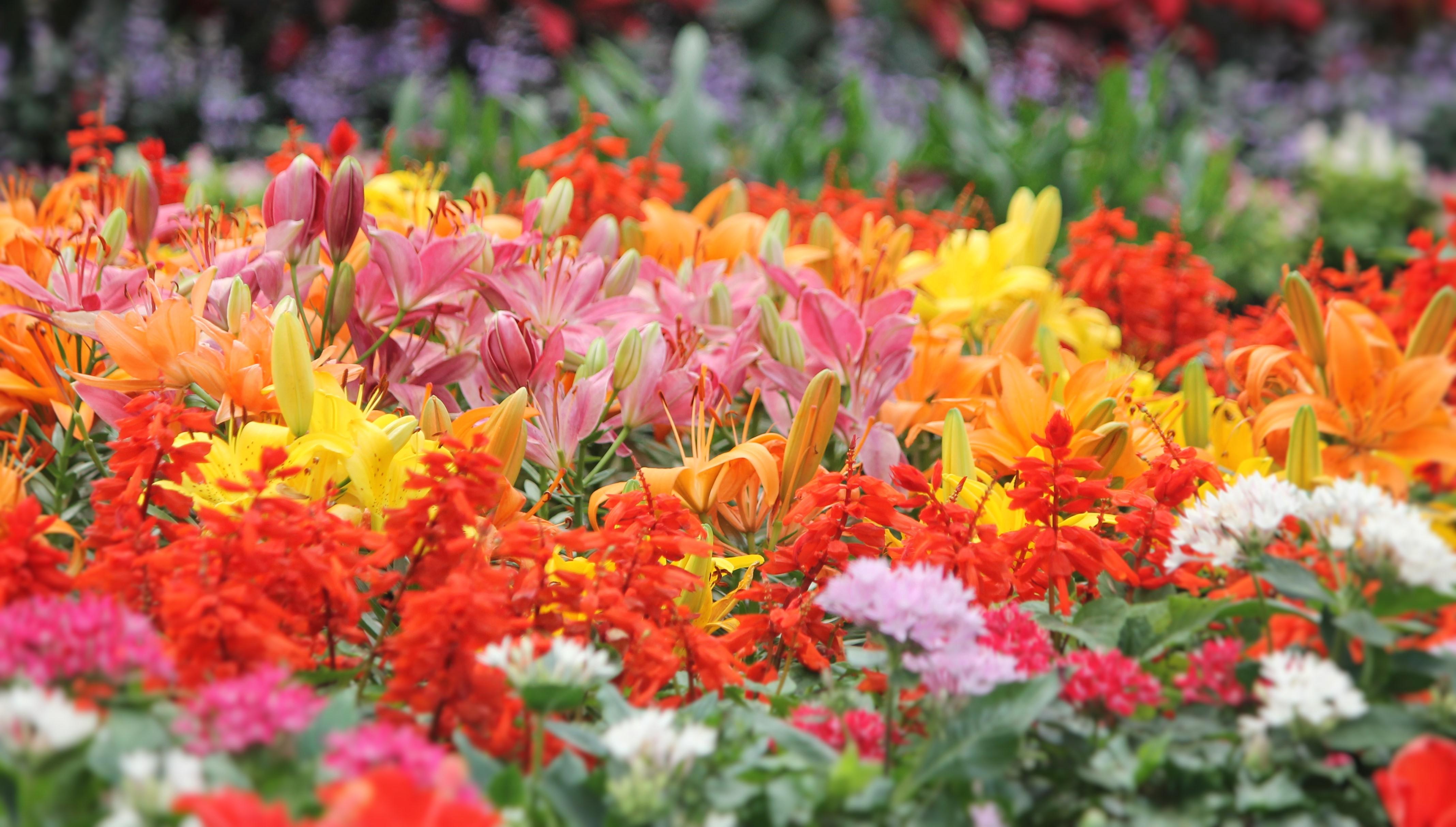 flowers, lilies, sofspics