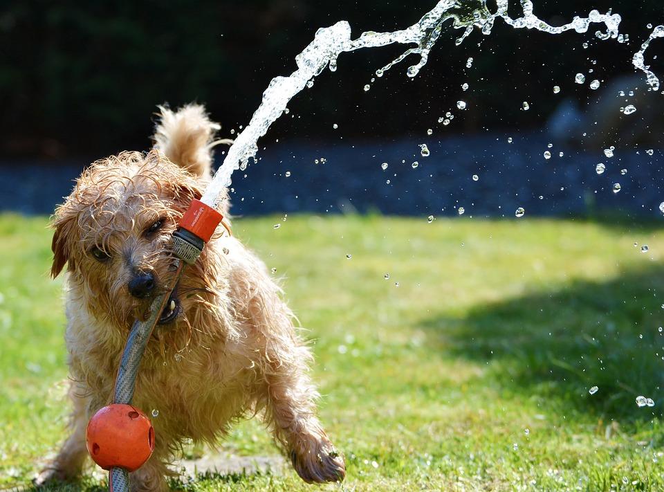 https://pixabay.com/en/dog-garden-terrier-fun-1310545/