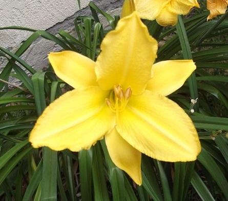 Day Lily that I took a photo of in my yard in 2014
