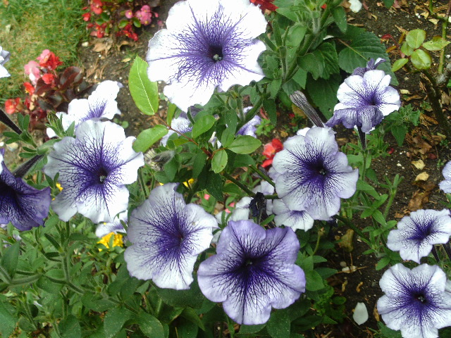 Petunias in my garden