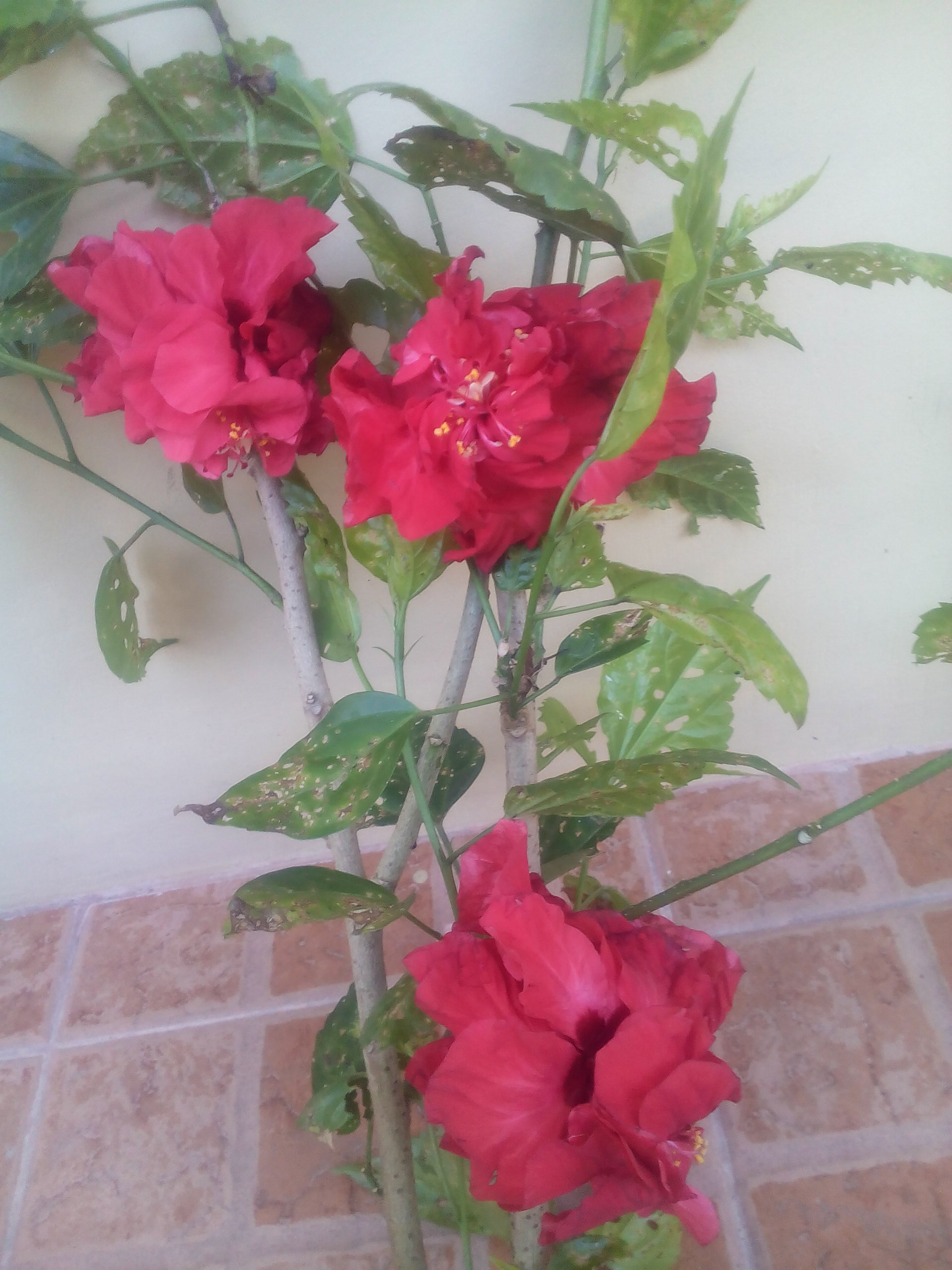acacelawrites'rites' photo of hibiscus stems with flowers