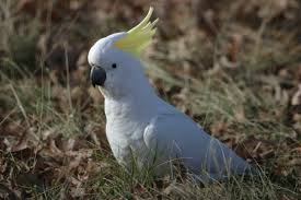 -credits to photo owner #cockatoo
