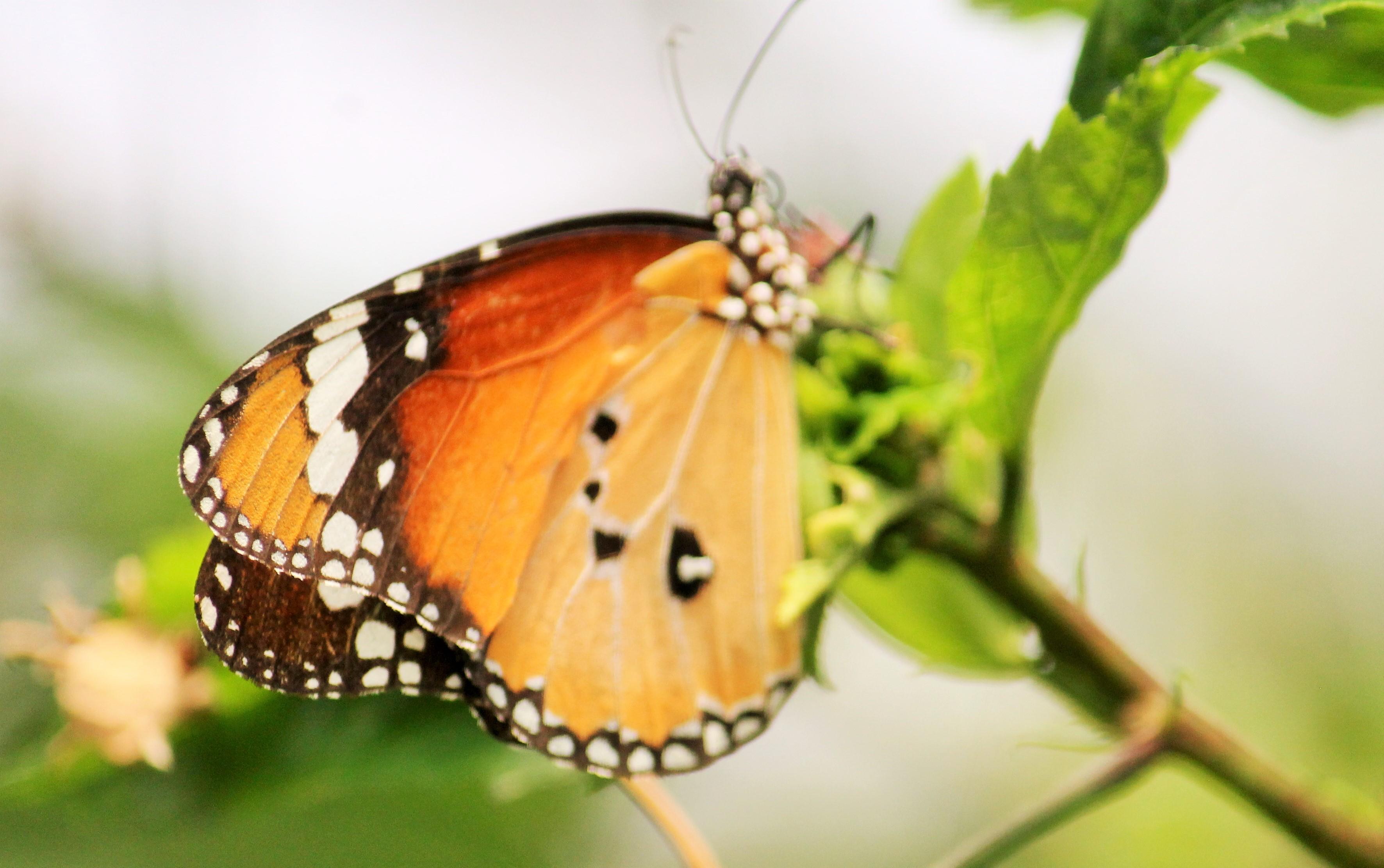 sofspics, butterfly
