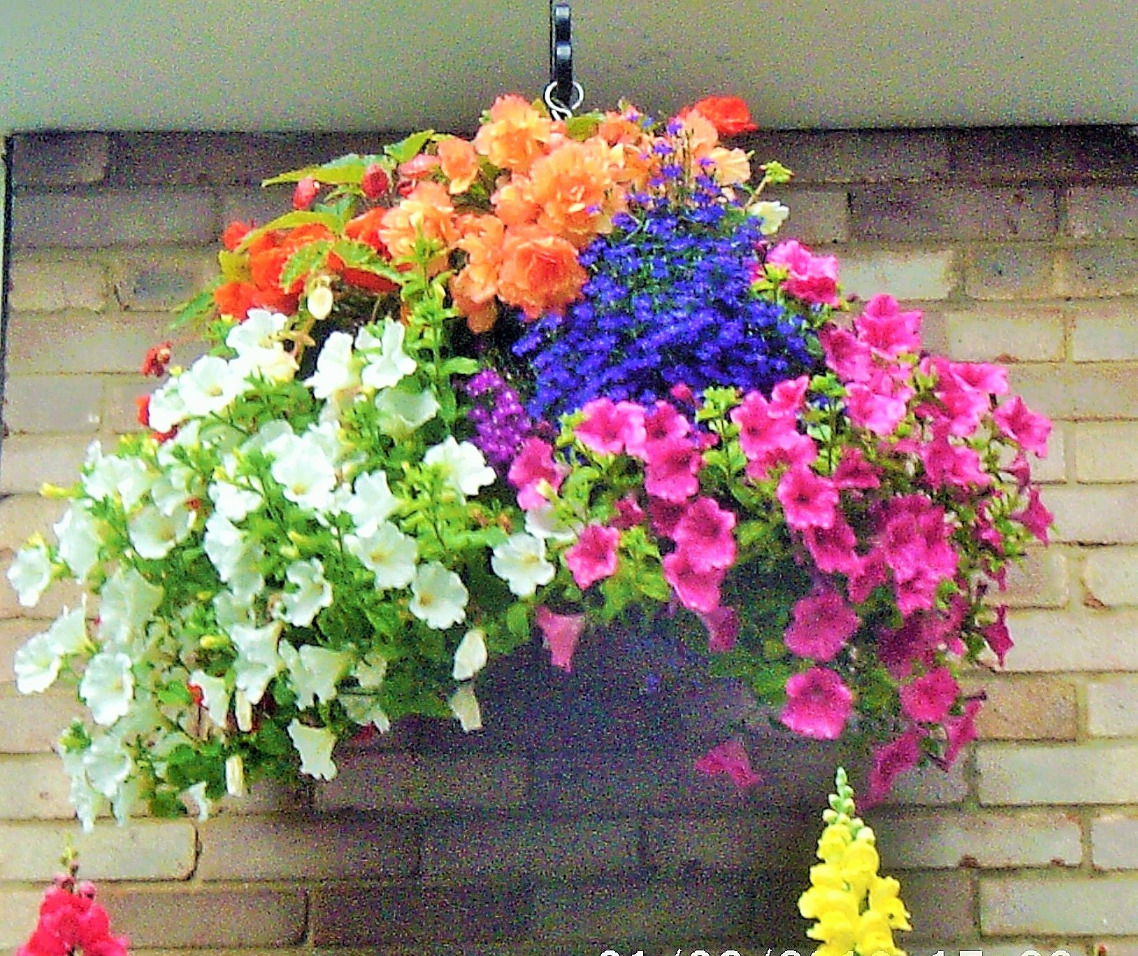One of my hanging baskets.
