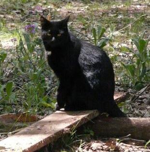 halloween, black cat, bad luck