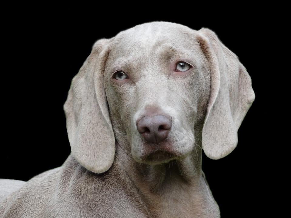 https://pixabay.com/en/dog-weimaraner-portrait-1742295/