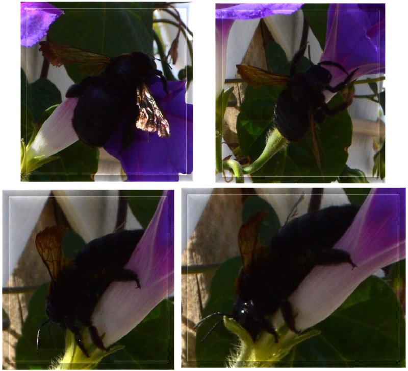 A bee found a new way to get to the nectar, I was so surprised.