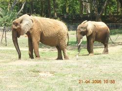 Africal Elephants at Mysore Zoo - Photographed at Mysore Zoo