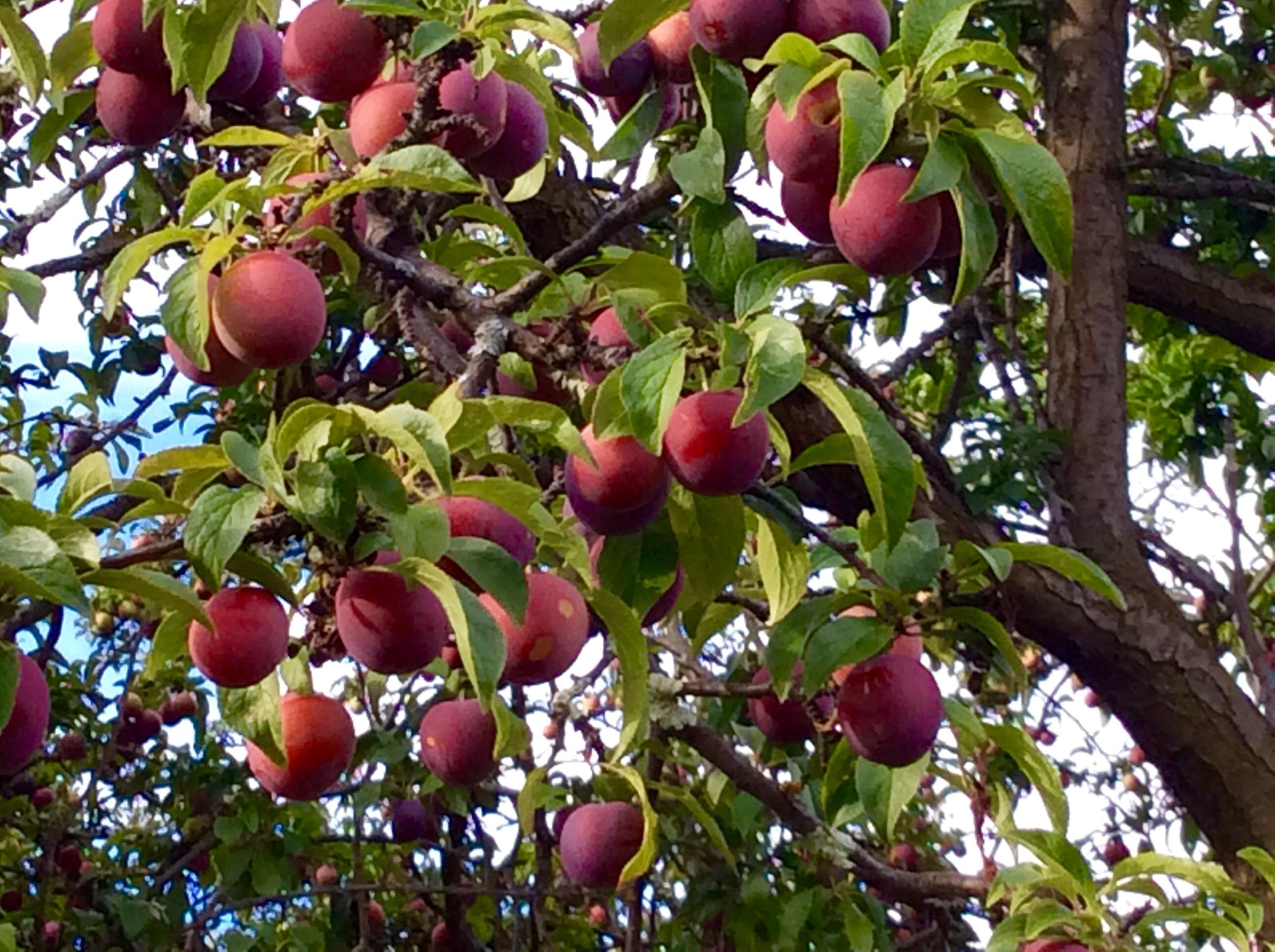 My plum tree