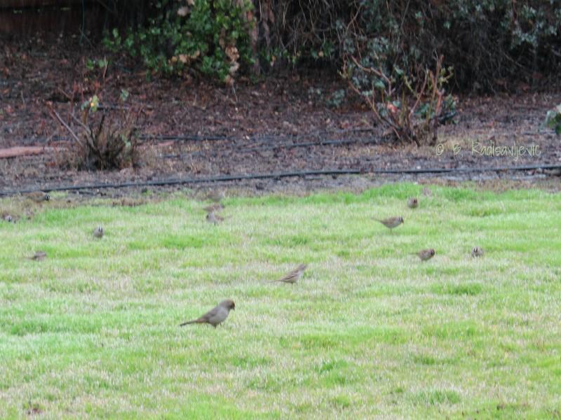 Birds Gathering on my Lawn after Rain