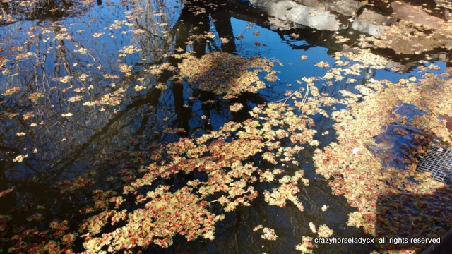 maple blossoms 'cross the pond