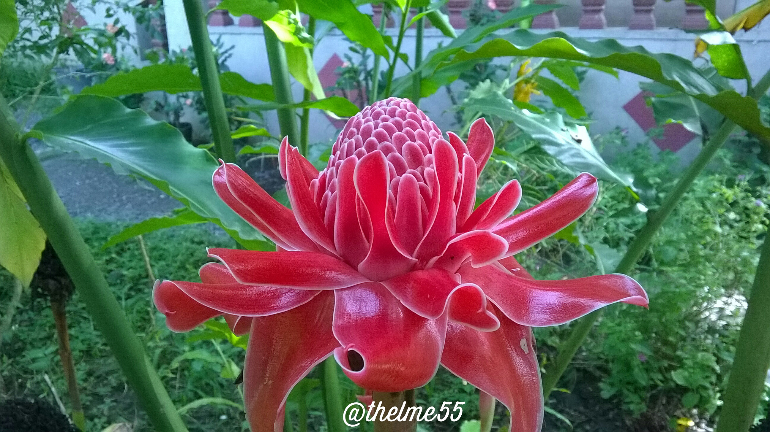 Torch ginger for my late mother