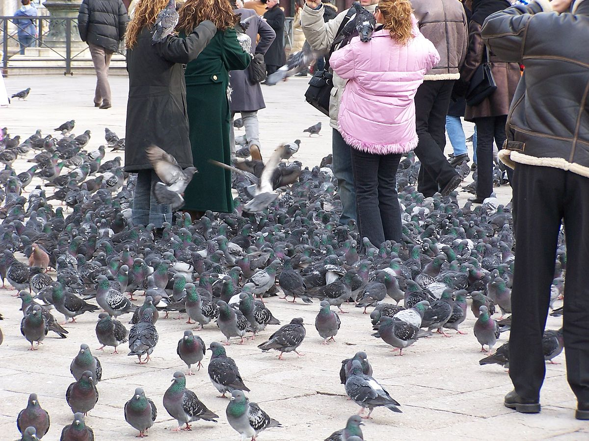 https://commons.wikimedia.org/wiki/File:Pigeons_at_Piazza_San_Marco.jpg