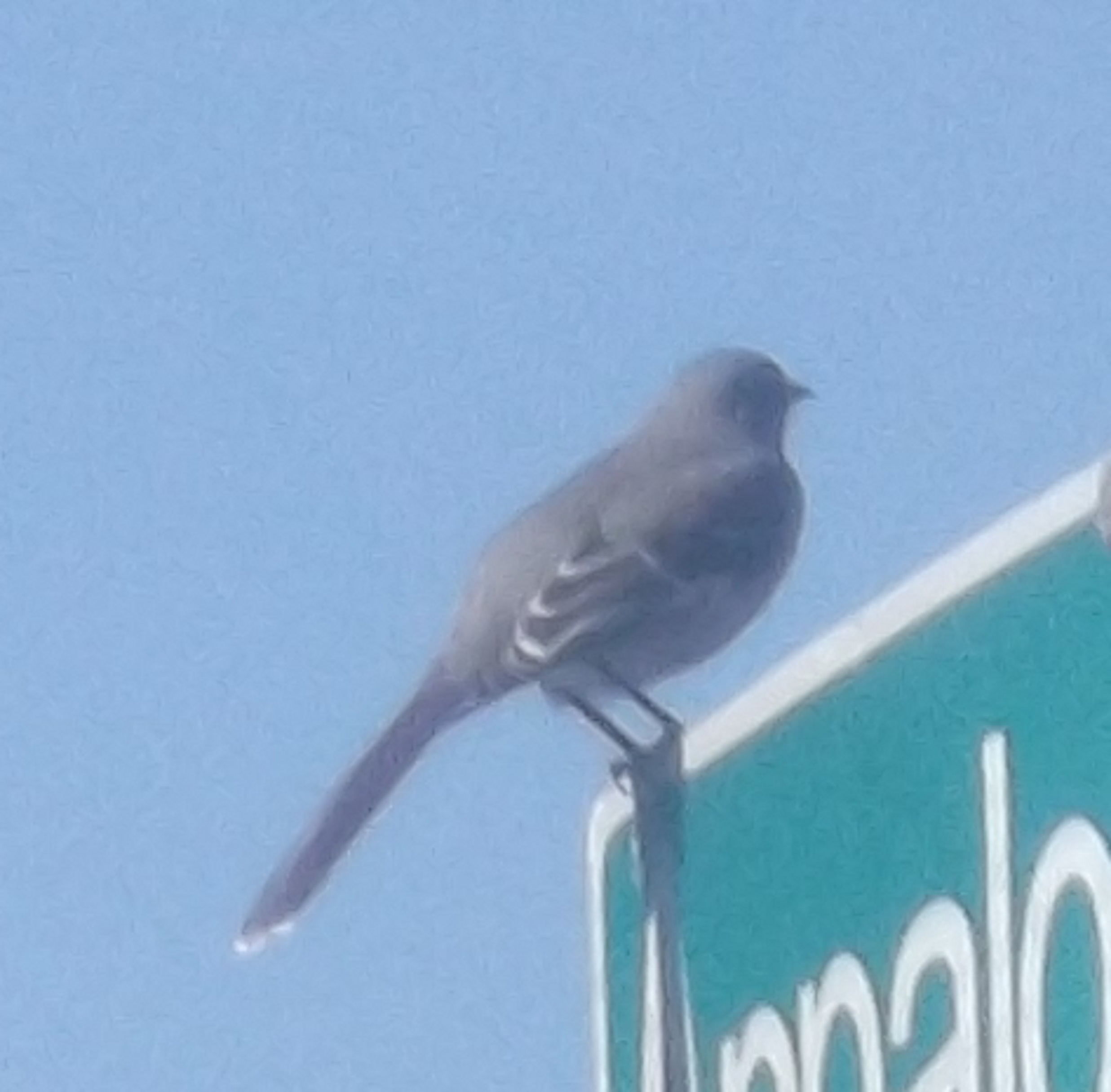 Photo of a bird I took on the street sign. 3-7-17