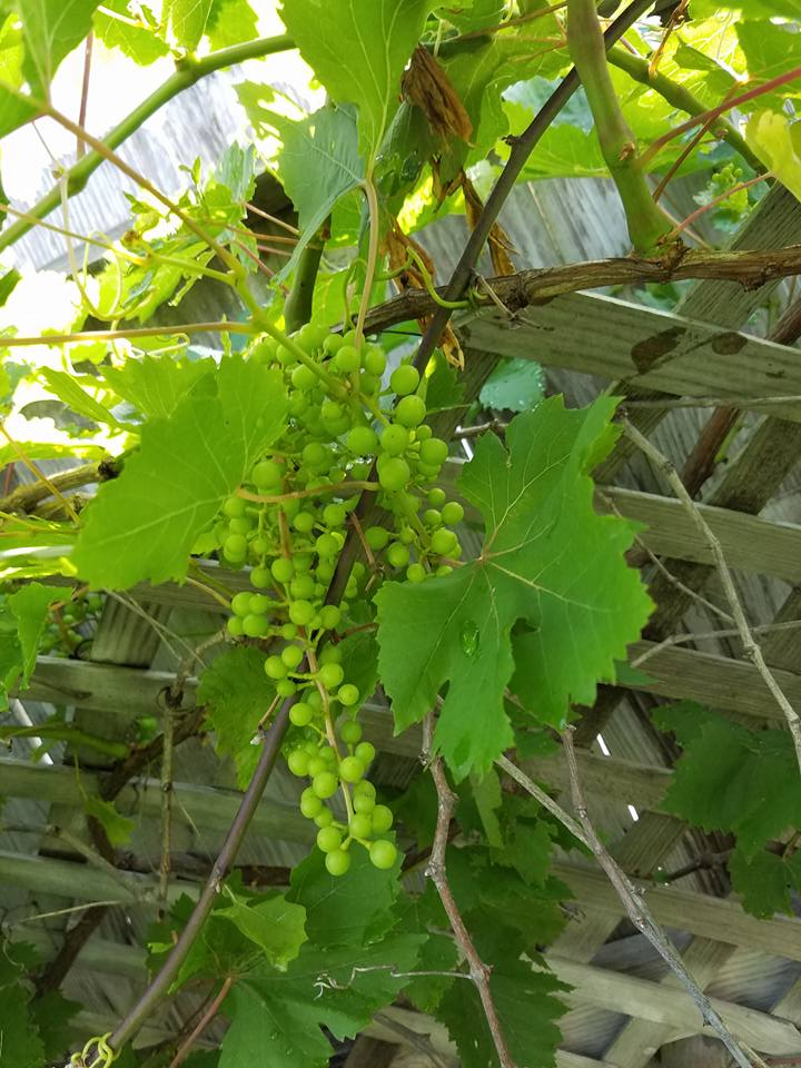 The Grapes are coming