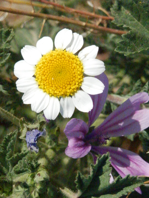 German Chamomile or Roman Chamomile Flower Blooms In May.