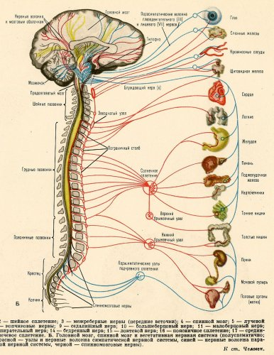 http://funny-pictures.picphotos.net/-images-anatomy-of-human-nervous-system-and-lymphatic-system-jpg/imgc.allpostersimages.com*images*p-473-488-90*70*7068*qbol100z*posters*stocktrek-images-anatomy-of-human-nervous-system-and-lymphatic-system.jpg