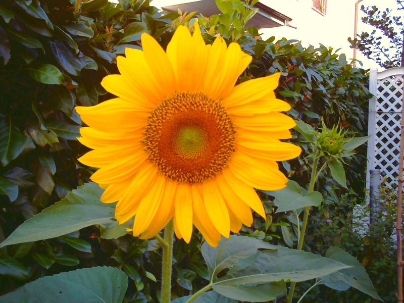 A sunflower in my garden - LadyDuck