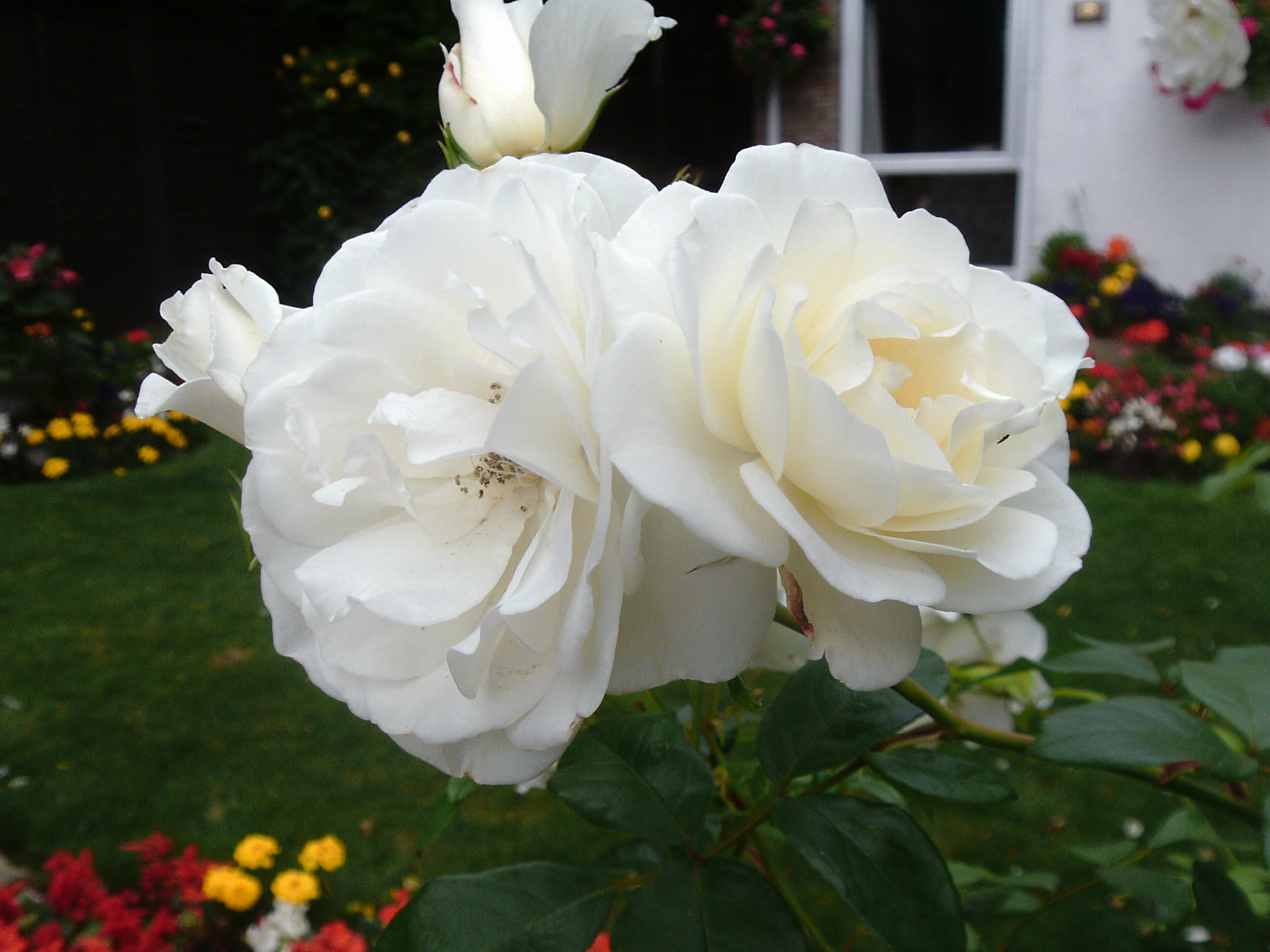 Roses for Sarah.