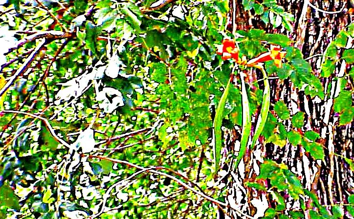 Tree Beans - Gus Kilthau