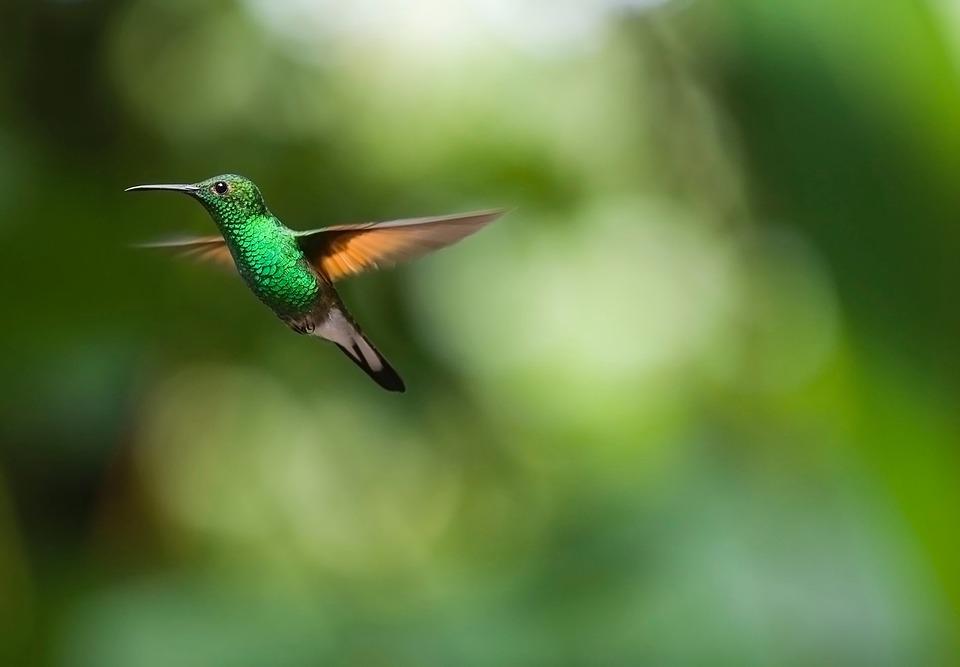 https://pixabay.com/en/hummingbird-bird-trochilidae-fly-2139278/