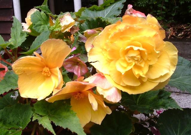 Begonias in my garden