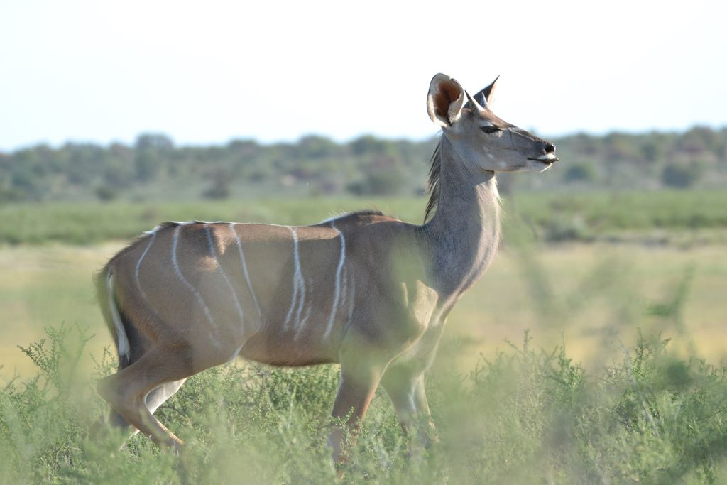 Kudu from the African Kgalagadi