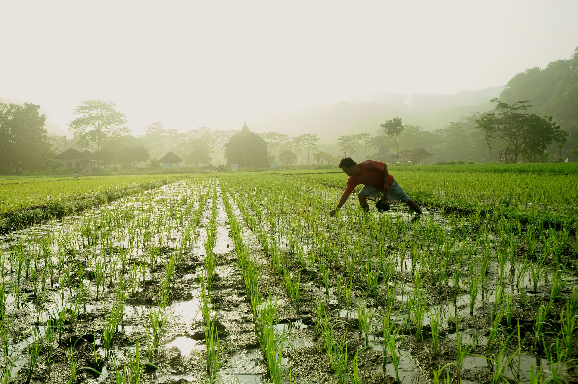 planting rice (photo courtesy of pixabay)