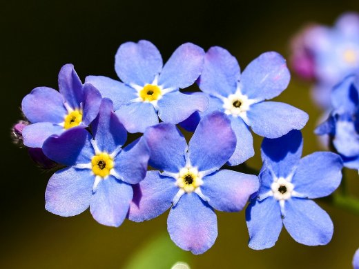 Forget Me Not Flower/Pixabay